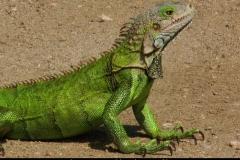 Leguanen zijn echt overal Aruba met kinderen