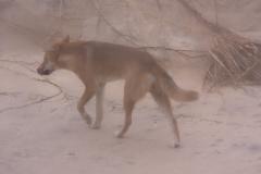 Australië Fraser Island dingo