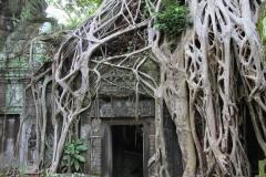 Angkor Ta Phrom wortels Banyan boom Angkor Cambodja