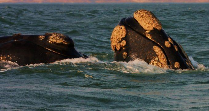 walvissen plettenberg baai zuid afrika reisfoto's