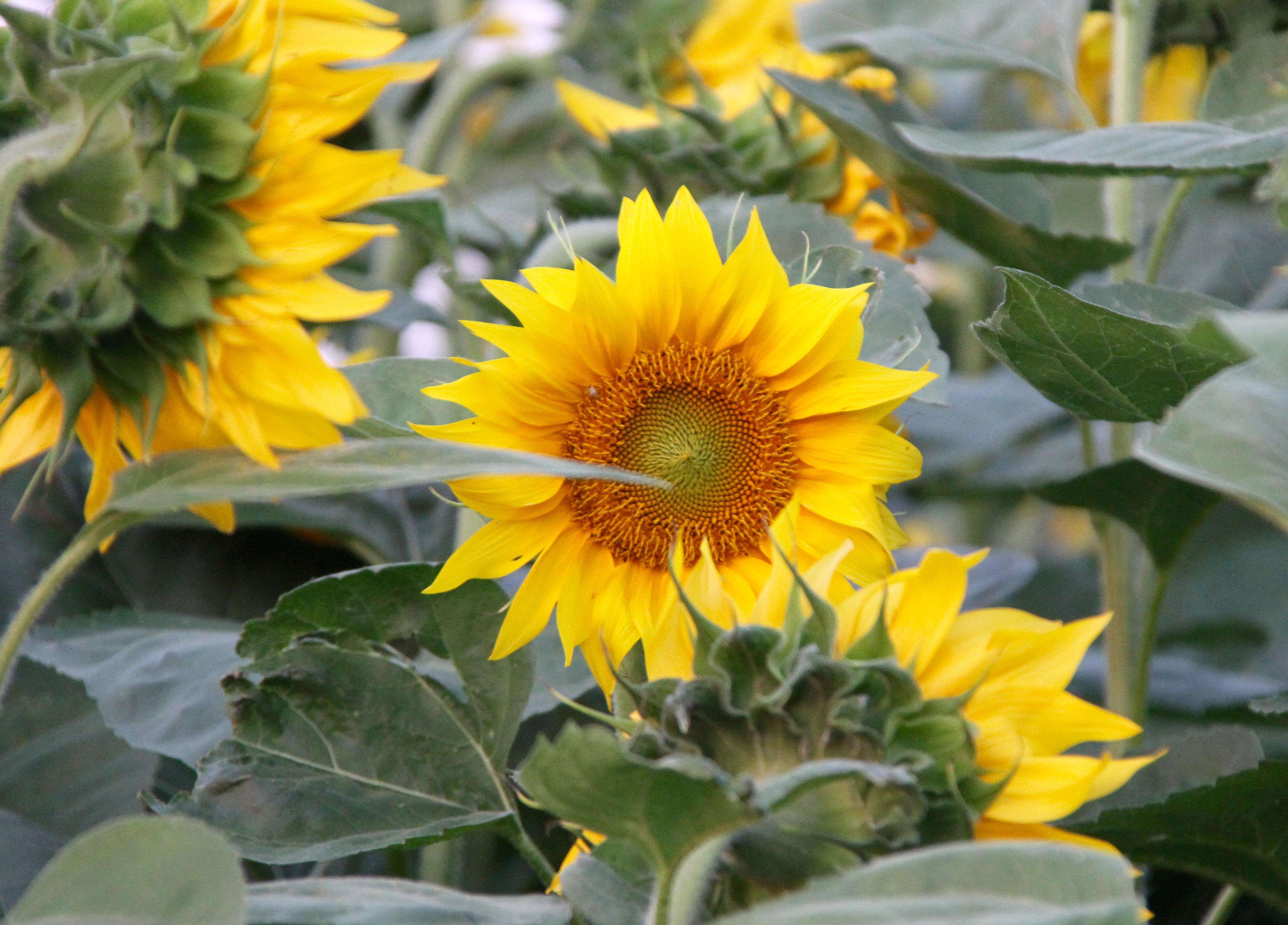 Velden vol zonnebloemen Hongarije met kinderen